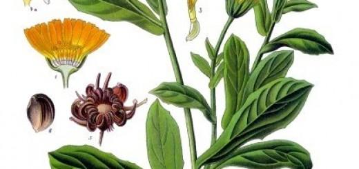 Ringelblume - Ein bewehrtes Hausmittel